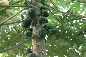 papaia verde sana sull'albero foto