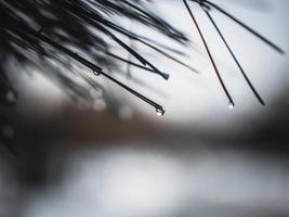 gocce di pioggia sugli aghi di pino. gocce d'acqua sugli aghi di pino foto