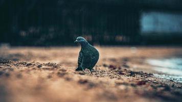 piccione sulla sabbia vicino al mare foto
