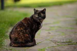 gatto randagio abbandonato che guarda direttamente la telecamera, all'aperto foto