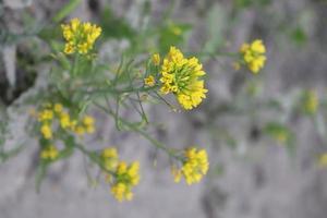 primo piano del fiore di senape di colore giallo foto