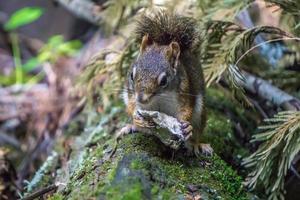 scoiattolo selvatico nel parco fluviale kootenai foto