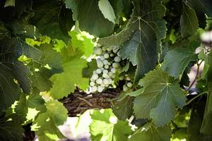campo di vino per fare il vino foto