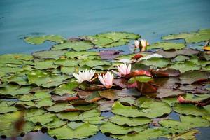 loti rosa in acqua limpida. belle ninfee nello stagno. fiore asiatico - un simbolo di relax. foto