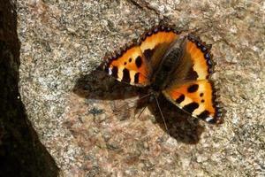 la piccola tartaruga è una colorata farfalla eurasiatica della famiglia nymphalidae. foto