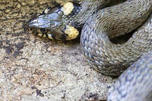 serpente dal collare, biscia nella natura, natrix natrix foto