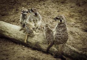 suricati nella natura foto