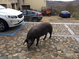 un maiale dalle zampe nere che cammina attraverso la città di mogarraz, provincia di salamanca, castilla y leon, spagna foto