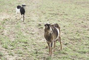 animali senza capre foto