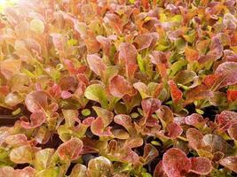 Close up di insalata piantagione di verdure in una serra in un'azienda agricola biologica organic foto