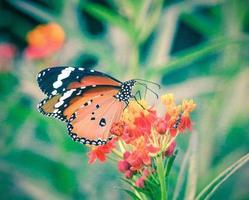 farfalla sul fiore d'arancio foto