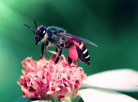 chiudere le api sul fiore foto