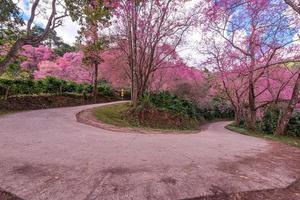 fiore di ciliegio selvatico himalayano, prunus cerasoides o fiore di tigre gigante. foto