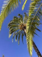 palme sotto il cielo blu, comunidad valenciana, spagna foto