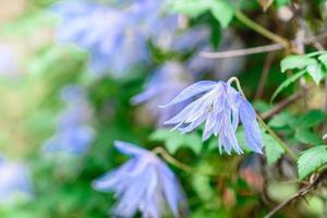 bellissimi fiori blu sullo sfondo di piante verdi. sfondo estivo foto