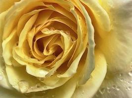 primo piano di rosa gialla e gocce di pioggia foto
