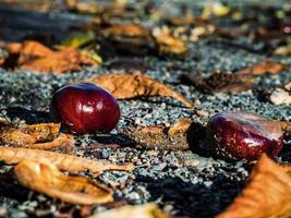 castagne mature cadute a terra e spaccate. foto