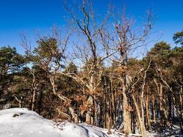 foresta invernale nelle montagne dei vosgi, francia foto