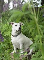 cucciolo di jack russell terrier foto