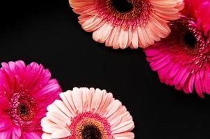 fiori di gerbera luminosi su sfondo nero foto