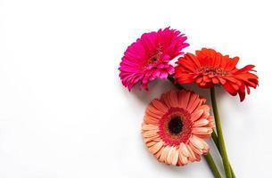 fiori di gerbera luminosi su sfondo bianco foto