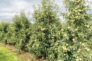raccolta delle mele nella vecchia terra di Amburgo foto