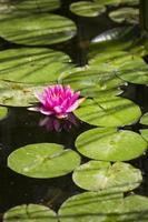 un bellissimo loto rosa galleggia nel fiume foto