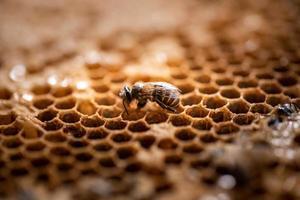 ape operaia nel suo alveare in natura foto