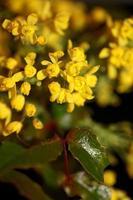 fiore fiore berberis aquifolium famiglia berberidaceae close up print foto