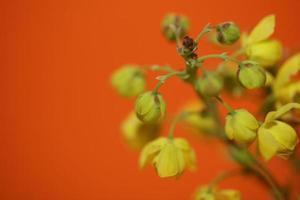 fiore fiore berberis aquifolium famiglia berberidaceae macro shoot foto