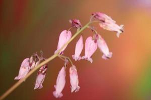 fiore sbocciare da vicino dicentra formosa famiglia papaveraceae foto