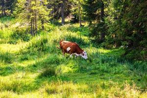 mucca in piedi e al pascolo sul campo erboso, giornata di sole foto