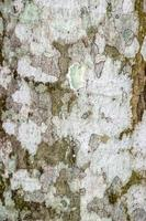trama di corteccia di albero per lo sfondo foto