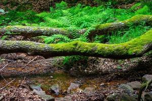 ceppo di albero caduto con muschio che blocca il sentiero foto
