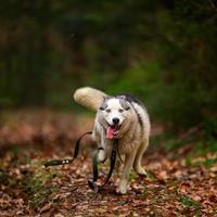 fare jogging con gli husky, gelate mattutine autunnali sull'erba, una passeggiata con un cane. foto
