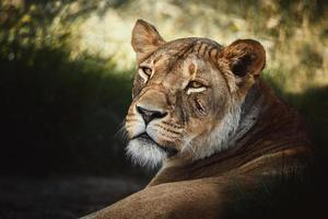 leone panthera leo il ritratto di dettaglio del leone foto