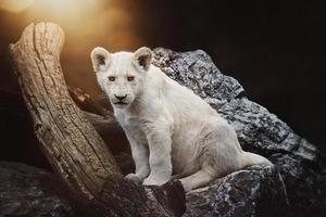 il leone sudafricano panthera leo krugeri piccolo cubo foto