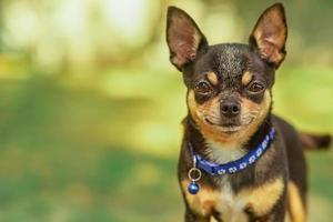 cane chihuahua su sfondo sfocato foto