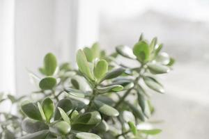 pianta d'appartamento succulenta in un vaso si erge su una finestra della stanza foto