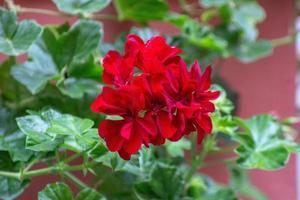 pianta geniale rossa con foglie verdi in un giardino a rio de janeiro foto
