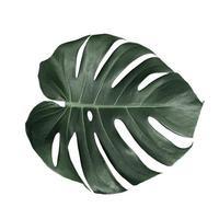 foglie di monstera isolate su sfondo bianco foto