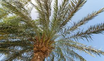 sfondo tropicale vista dal basso sui rami di una grande palma foto