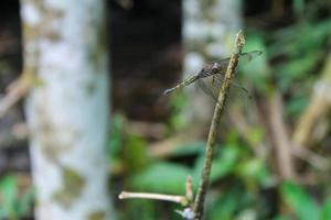 primo piano di una libellula appollaiata su un ramo di bambù foto
