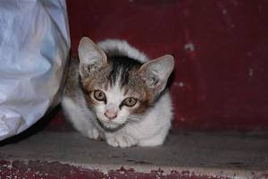 gatto bambino seduto sui gradini, a casa, guardando la telecamera foto