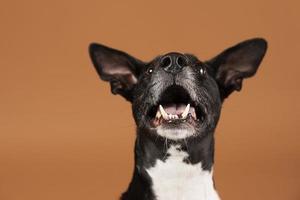 piccolo cane essendo adorabile studio di ritratto foto