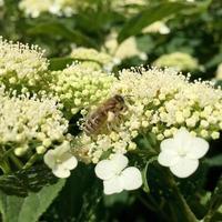 l'ape alata vola lentamente verso la pianta, raccoglie il nettare per il miele foto