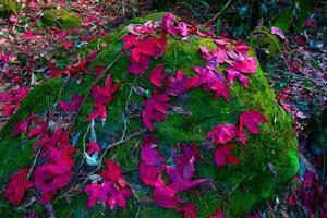 foglie di acero rosse cadute sulla pietra al muschio verde foto