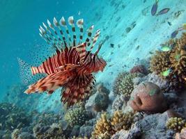 pesce leone nel mar rosso. foto