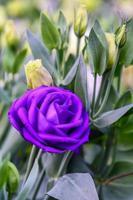 bellissimi fiori di lisianthus in giardino foto