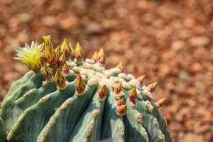ferocactus glaucescens var. nudum con fioritura gialla sul giardino foto